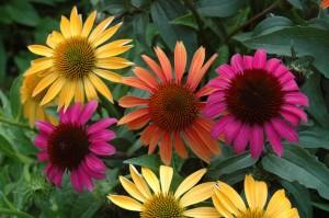echinacea-benefits-934934